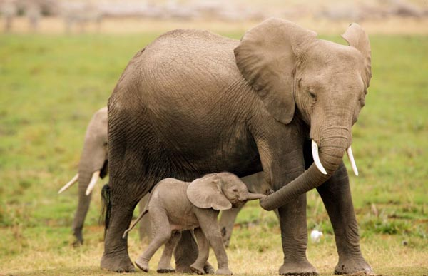 elephantas 2